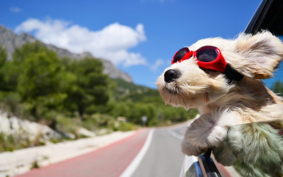 dog with eye protection in car